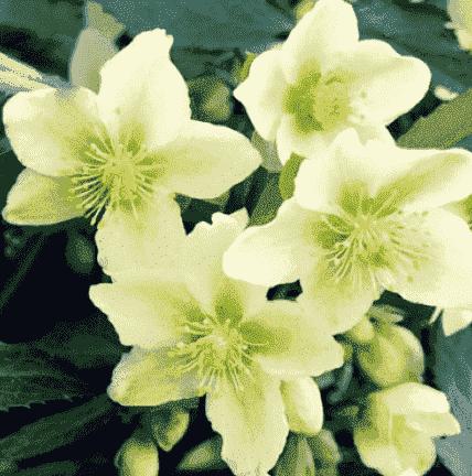 wintergroene planten